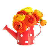Ranunculus (persian buttercups) in watering can, isolated on white — ストック写真