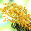 Twigs of mimosa flowers, on natural background — 图库照片