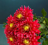 Beautiful red dahlias on dark blue background close-up — Stock Photo