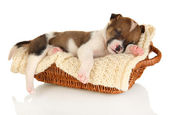 Beautiful little puppy sleeping in basket isolated on white — Stock Photo