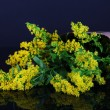 Sprigs of mimosa on blue background - Stockfoto