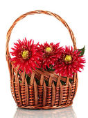 Beautiful red dahlias in basket isolated on white — Stock Photo