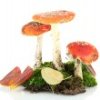 Red amanitas with moss isolated on white — Stock Photo #23521721