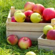 Crates of fresh ripe apples in garden on green grass — Stock Photo #23521769
