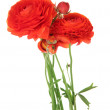 Ranunculus (persian buttercups), isolated on white - Stock Photo