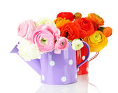 Ranunculus (persian buttercups) in watering cans, isolated on white — Stock Photo
