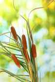 Reeds on green background — Stock Photo