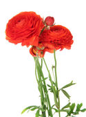 Ranunculus (persian buttercups), isolated on white — Foto Stock