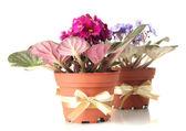 Bright saintpaulias in flowerpots, isolated on white — Stock Photo