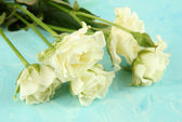 Beautiful white roses close-up, on color background — Stock Photo