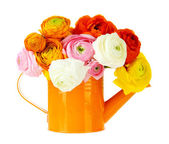 Ranunculus (persian buttercups) in watering can, isolated on white — Stock Photo