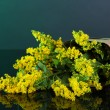 Sprigs of mimosa on dark background - Stockfoto