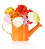 Ranunculus (persian buttercups) in watering can, isolated on white — Stockfoto