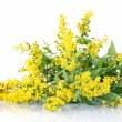 Stock Photo: Sprigs of mimosisolated on white