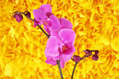 Gentle beautiful orchid on yellow background — Stock Photo