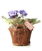 Bright saintpaulia in wooden flowerpot, isolated on white — Stock Photo