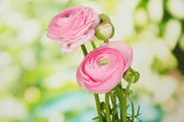Ranunculus (persian buttercups), on green background — Stock Photo