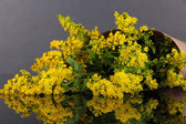Sprigs of mimosa on gray background — Stock Photo
