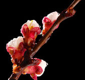 Beautiful apricot blossom with drops on black background — Stok fotoğraf
