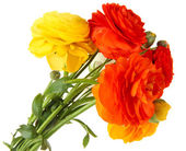 Ranunculus (persian buttercups), isolated on white — Stock Photo