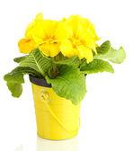 Primula amarilla hermosa en maceta, aislado en blanco — Foto de Stock