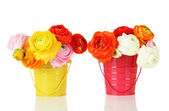 Ranunculus (persian buttercups) in pails, isolated on white — Stock Photo