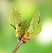 Blühende knospen an baum auf hellen hintergrund — Stockfoto