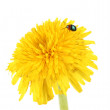 Dandelion flower isolated on white — Stock Photo