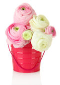 Ranunculus (persian buttercups) in pail, isolated on white — Stock Photo
