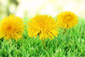 Dandelion flowers on grass on bright background — Stock Photo