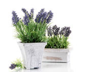 Beautiful lavender in wooden pots isolated on white — Stock Photo
