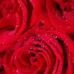 Beautiful red roses closeup — Stock Photo