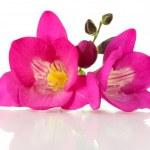 Pink freesia flower, isolated on white — Stock Photo