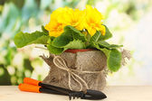 Beautiful yellow primula in flowerpot on wooden table on green background — Fotografia Stock