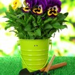 Beautiful pansies flowers on grass on bright background - Foto de Stock