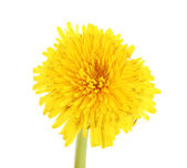 Dandelion flower isolated on white — Stock Photo