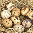 Quail eggs in a nest of hay close-up — Stock Photo #24799265