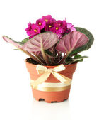 Bright saintpaulia in flowerpot, isolated on white — ストック写真