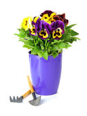 Beautiful pansies flowers isolated on a white — Stock Photo