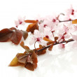 Stock Photo: Beautiful cherry blossom isolated on white