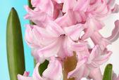 Vackra hyacint, på ljus bakgrund — Stockfoto