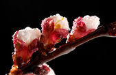 Beautiful apricot blossom with drops on black background — Stock Photo