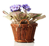 Bright saintpaulia in wooden flowerpot, isolated on white — Stock Photo