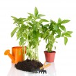 Pepper seedlings with garden tools isolated on white - Foto Stock