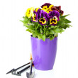 Beautiful pansies flowers isolated on a white - Foto de Stock