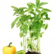 Pepper seedlings isolated on white - Stock Photo