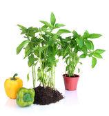 Pepper seedlings isolated on white — Stock Photo