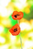 Poppy flowers on green background — Stock Photo
