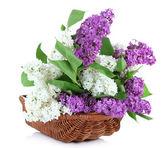 Schöne lila Blumen im Weidenkorb, isoliert auf weiss — Stockfoto