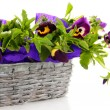 Beautiful pansies in basket isolated on white - Stock Photo